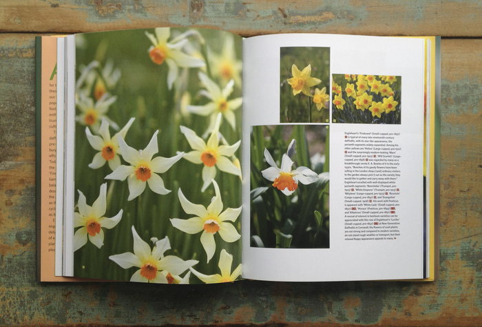 Daffodil by Noel Kingsbury 3